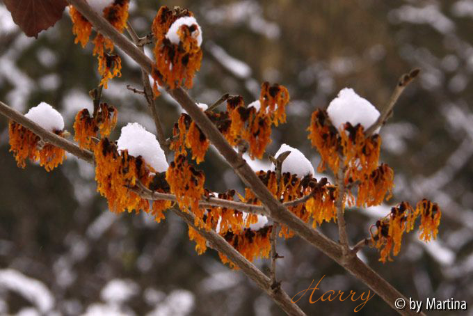 Kalm20130119_Hamamelis-Harry_1290