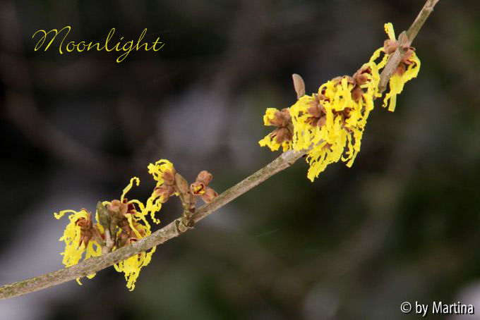 Kalm20130119_Hamamelis-Moonlight_1297