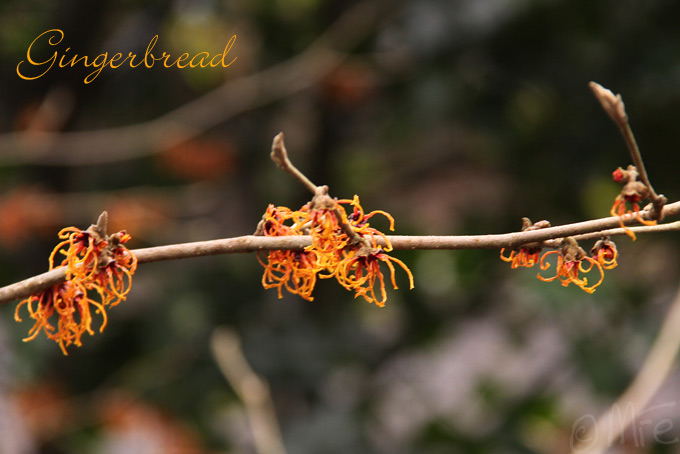 Kalm201401_Hamamelis-Gingerbread_4977