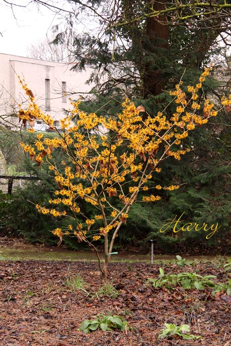 Kalm201401_Hamamelis-Harry_4922H