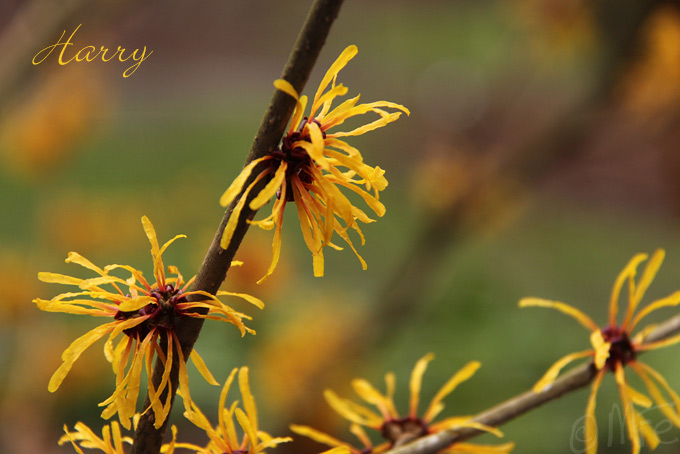 Kalm201401_Hamamelis-Harry_4927