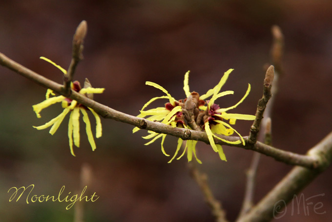 Kalm201401_Hamamelis-Moonlight_4943